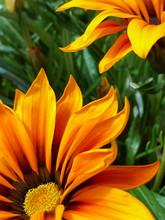 Vibrant Orange Gazania Flowers