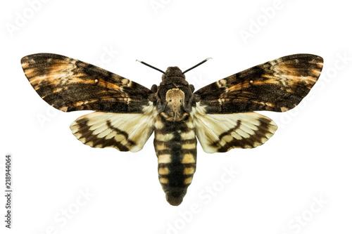 butterfly Acherontia atropos Wallpaper Mural