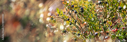 Wild blueberry bush. Dreamy wild blueberries panoramic banner on a sunny day with lens flare and strong bokeh.