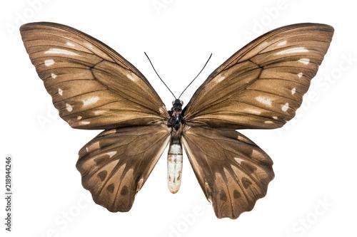 Deurstickers Vlinder butterfly Ornithoptera croesus lydius