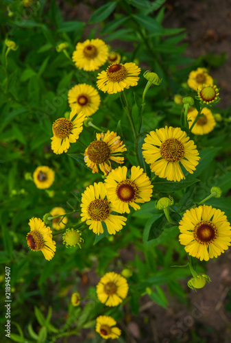 Fotografering  Yellow flowers of perennial plants in the garden