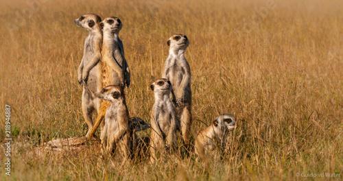 Obraz na plátně Meerkat family