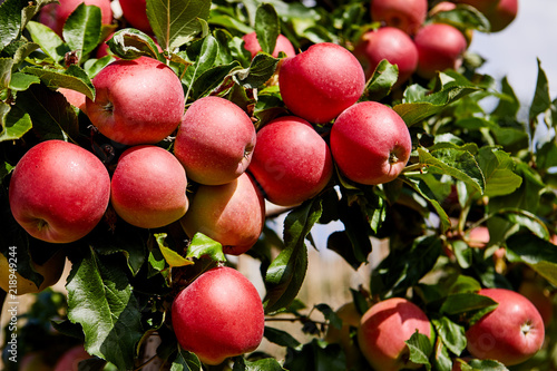 fresh-red-apples-on-a-tree