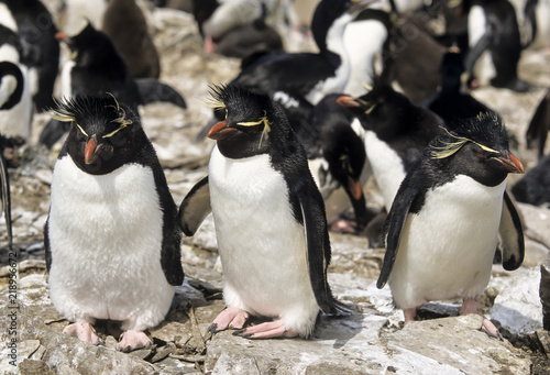 Gorfou huppé, Manchot gorfou sauteur, Eudyptes sclateri, Erect crested Penguin