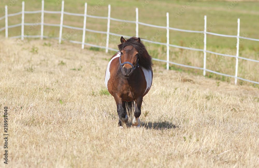 Fotografie, Obraz cute little shetland pony on pasture