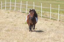 Cute Little Shetland Pony On P...