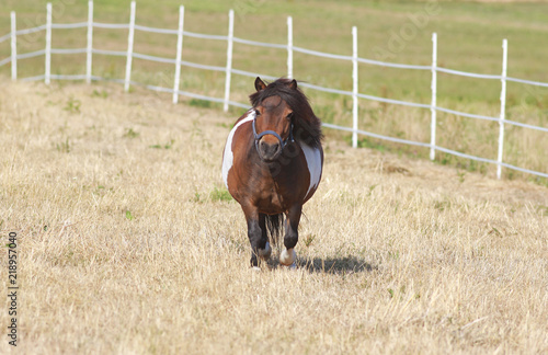 Fotografie, Obraz cute little shetland pony on pasture