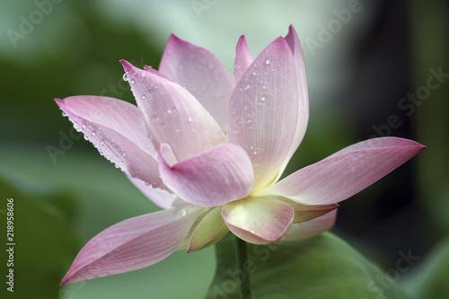 Deurstickers Lotusbloem Pink lotus