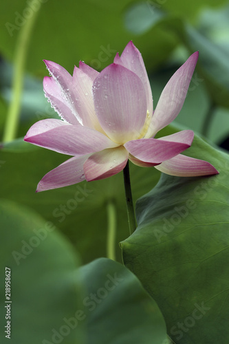 Foto op Canvas Lotusbloem Lotus in leaves