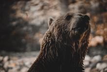 Wild Bear Close Up