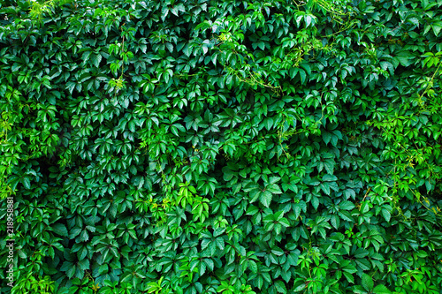 Green wall made fron climbing plant.
