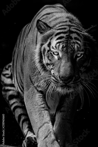 Fotomurales - Black and white Tiger portrait in front of black background
