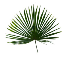 Tropical Leaf Palm Tree ( Livi...