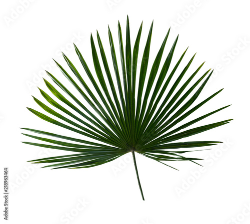 Tropical leaf palm tree ( Livistona ) on white background. Top view, flat lay