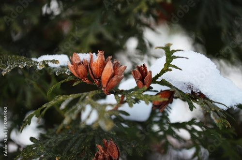 Foto  branch of green cypress with young cones under the snow