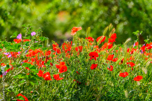 Poppies field with Almond trees
