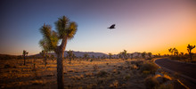 Black Raven Flying From A Joshua Tree (Yucca Brevifolia)  Towards The Sunset In Joshua Tree National Park, California, U.S.A. Cactus Like Palm Tree Yucca's Biblical Name Is Also Famous U2 Band Album.