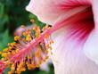 macro avec pétales et pistil d'hibiscus