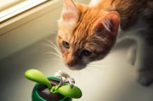 Portrait Of Muzzle Red Kitten ...