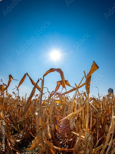 Valokuvatapetti Sonne brennt auf ein durch Trockenheit verdorrtes Maisfeld