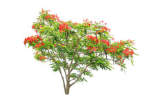 Flam-boyant, Flame Tree, Or Royal Poinciana On White Background