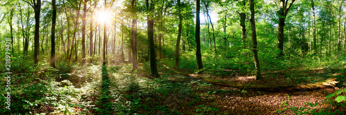 Fototapeten Wald Beautiful forest panorama in Summer with bright sun shining through the trees