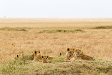 A Small Pride Of Young Lions Is Resting In The Savannah. Masai Mara, Africa