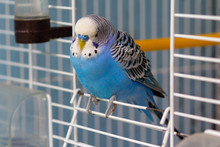 Blue Wavy Parrot Sits At The E...