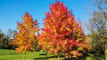 Colorful Autumn Leaves Of Many Liquidambar Styraciflua In The Park