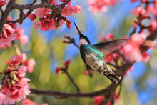 Hummingbird On A Cherry Tree
