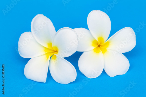 Keuken foto achterwand Frangipani Frangipani Flower or Plumeria on blue background.
