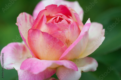fleur marc chagall rose seul en été dans un jardin en plein jour en plan rapproc Canvas Print