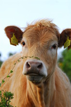 Beautiful Cow Looking Inquisit...