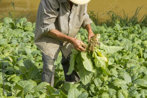 Trabalhador colhe mudas de folha de fumo para plantio em fazenda brasileira Fototapeta