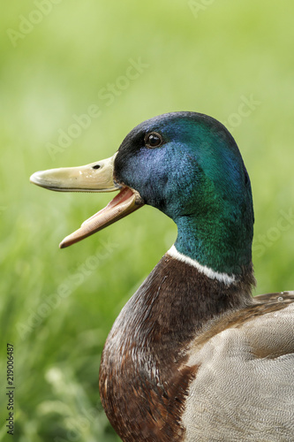 Valokuva Mallard duck with bill wide open.