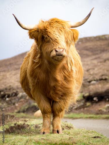 Fototapeta Furry highland cow in Isle of Skye, Scotland obraz