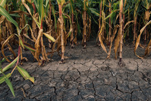 Cornfield And Dry Mudcracked L...