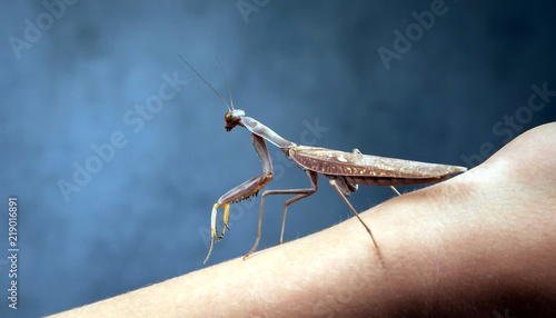 Fotografie, Obraz  Insect hunter attacks. Mantis is a terrible monster of wildlife.