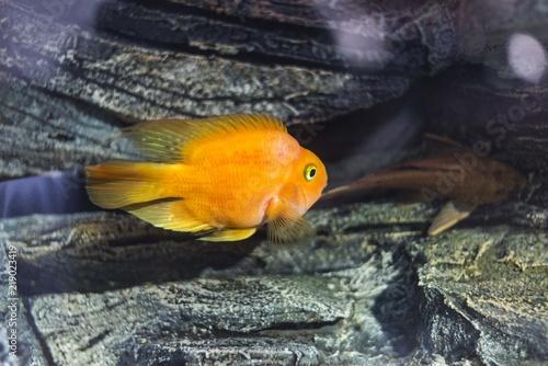 Plakat złota ryba w akwarium