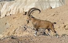 Nubian Ibex (Capra Nubiana Sinaitica) Among Rocks In Sde Boker. Old Male. Negev Desert Of Southern Israel