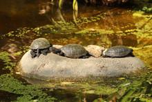 Three European Pond Terrapin (Emis Orbicularis) Turtles Sunbathing