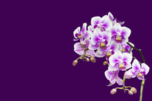 Purple Blooming Orchid Plant In Pink Flower Pot. Isolated On Violet Background, Selective Soft Focus. Beautiful Home Bouquet Of Purple Orchid, One Branche.