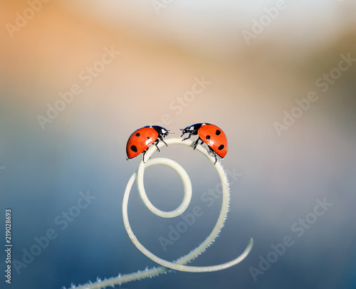 two  little ladybugs crawling on a winding blade of grass on a bright  summer meadow