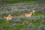 Outdoor view of white-tailed family deers eating grass in the Yellowstone National Park