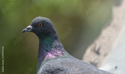 Wood pigeon Columba palumbus perched on log with blurred green background