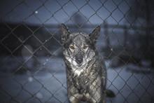 Alaskan Husky/Sled Dog Standin...