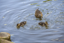 Black-brown Duck Mother With Small Ducklings In  Blue Pond Water