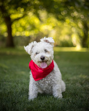 Small White Dog With Bandanna Sitting In Park