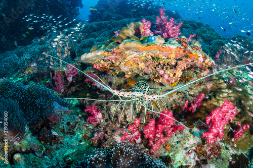 Fototapety, obrazy: A Spiny Lobster hiding in a hole on a tropical coral reef in Thailand