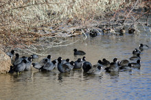 American Coots Resting At The Side Of The Pond